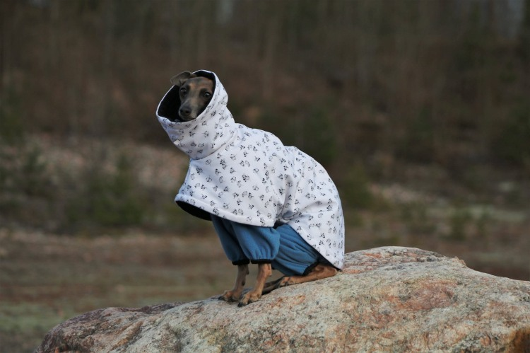 italian greyhound Canis Nobilitas Cataleya