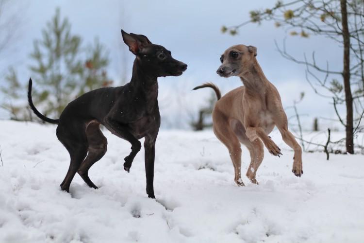 Kurnous Olwen Canis Nobilitas Cataleya